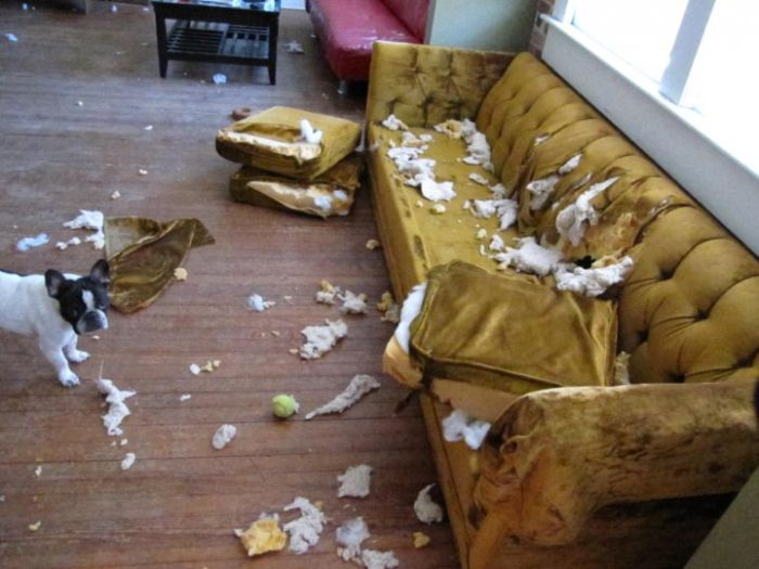 Dog eats sofa
