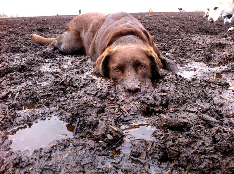 Dog in mud