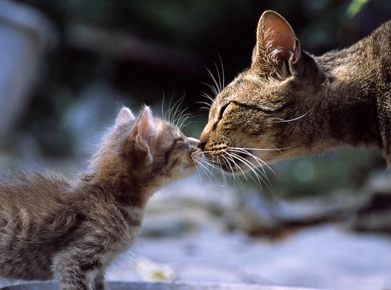 kitten and cat kissing
