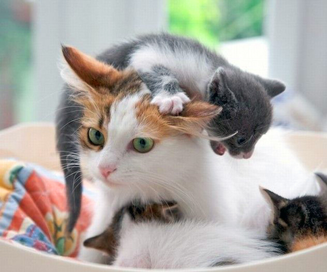 Cat with kitten crawling over her head