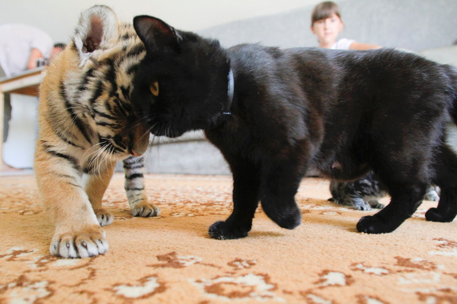 Tiger and cat feline friends