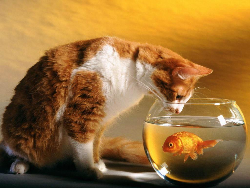 Cat watches fish