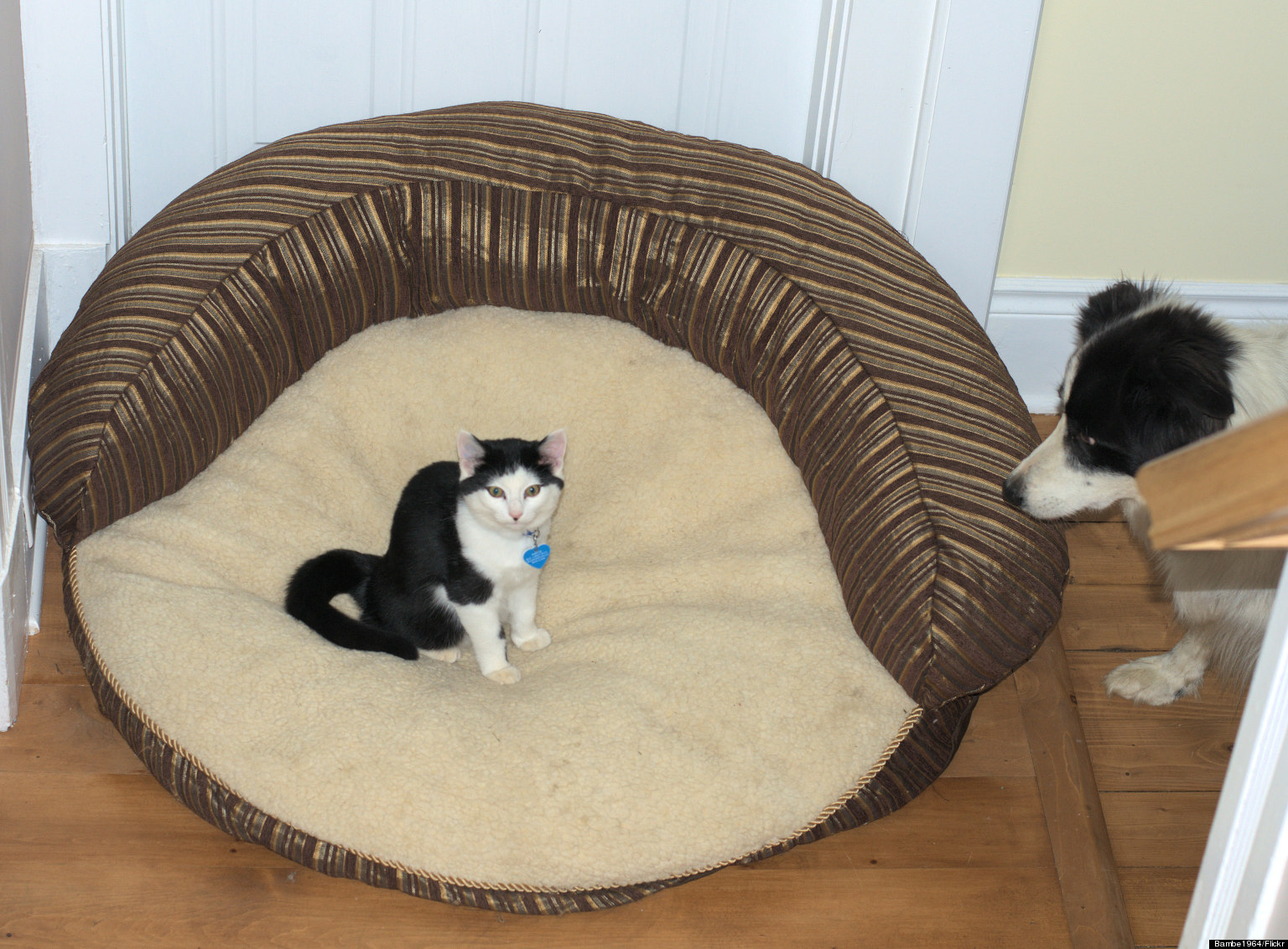 Cat steals dog's bed