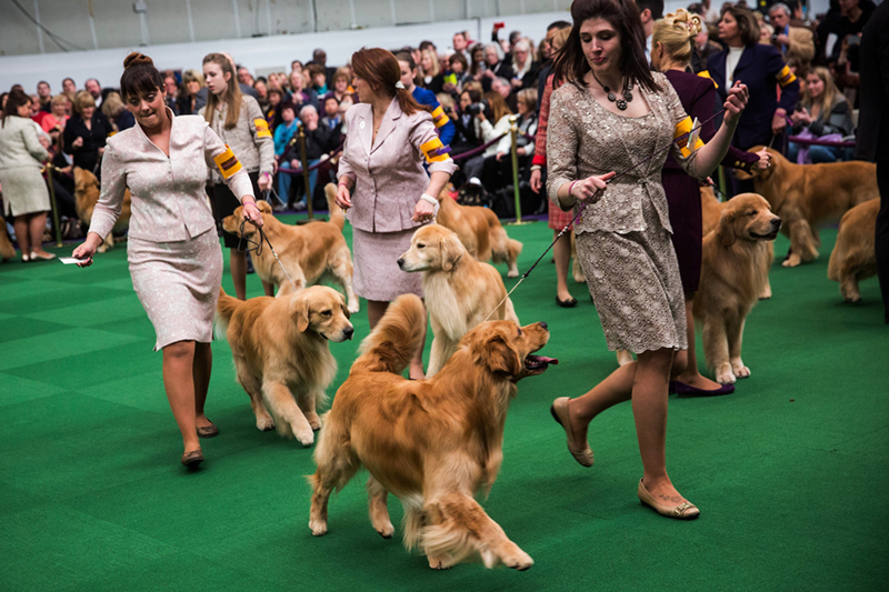 Dogs parade at the Westminster Dog Show