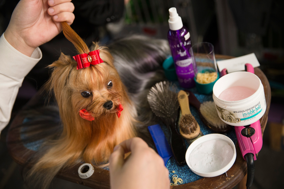 Dog being groomed at Westminster Dog Show