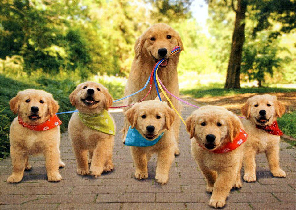 dad dog walking five puppies