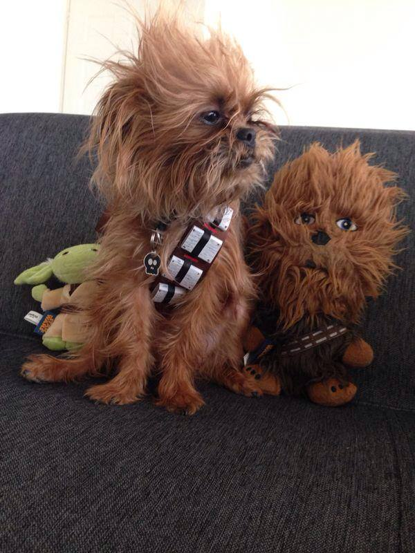 Dog dressed as Chewbacca