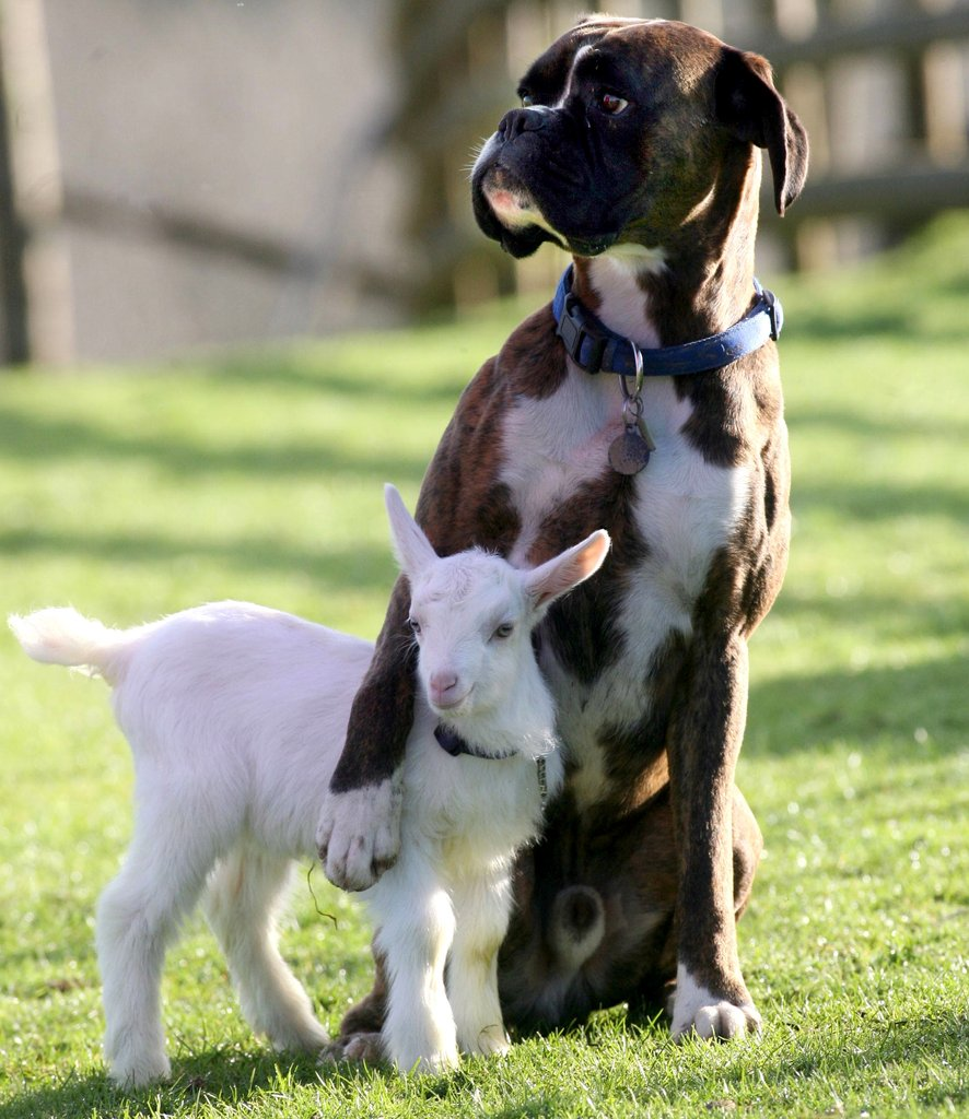 Boxer dog with paw around a baby goat