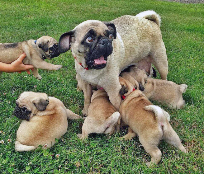 pug with puppies