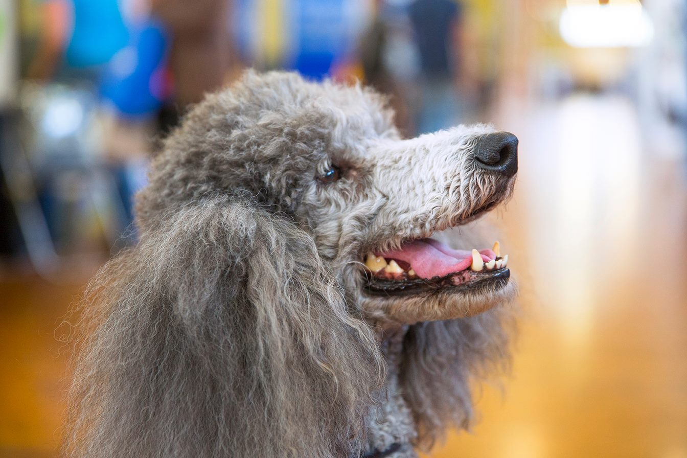 poodle dog lovers show