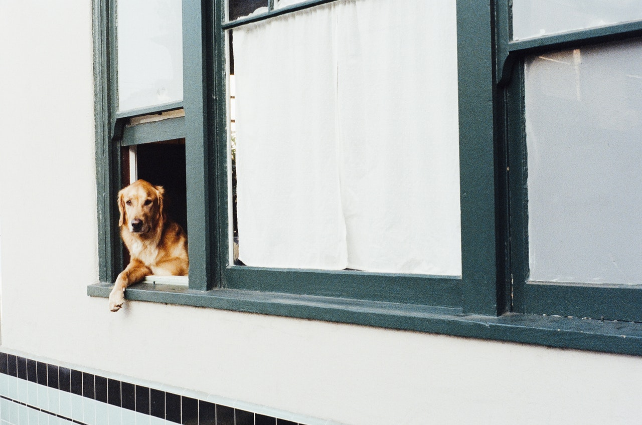 dog in window