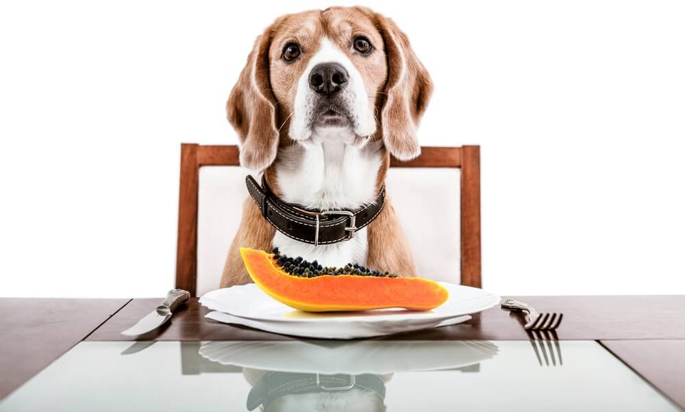 dog eating papaya